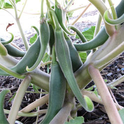 Harpagophytum (Harpagofyt) – Ďáblův dráp
