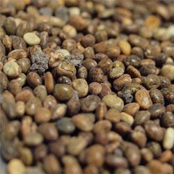 Semena vlčího bobu